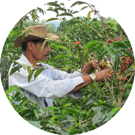 We have planted at <i>different heights</i> more than <strong>10 varieties of coffee</strong>, of which we only manually collect the ripe cherries