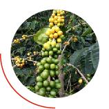 granos de café verdes y amarillo